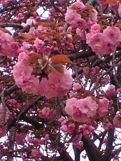 石切の桜の写真