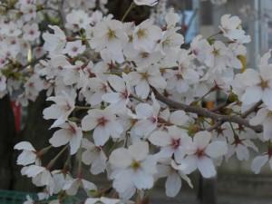 桜の花のアップの写真